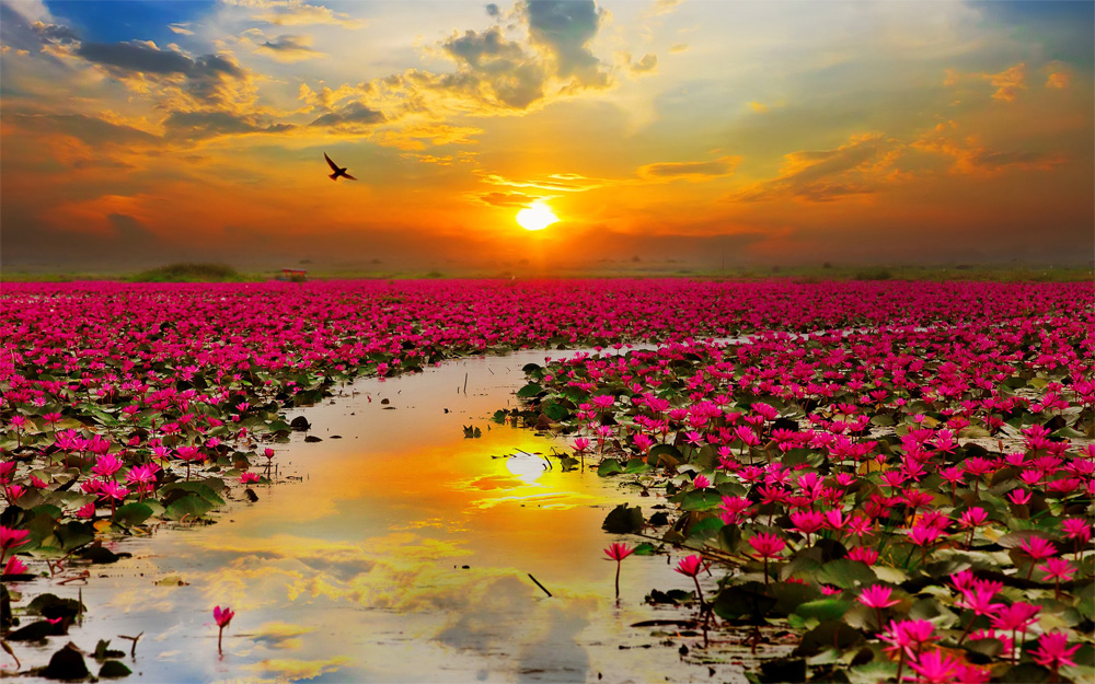 beautiful desktop backgrounds Lotus Flowers